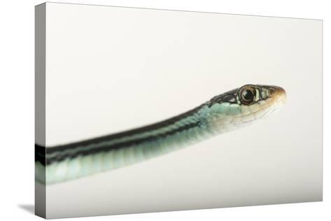 An Eastern Ribbon Snake, Thamnophis Sauritus Sauritus-Joel Sartore-Stretched Canvas Print