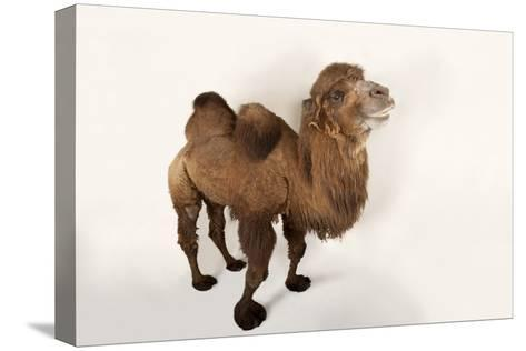 A Critically Endangered Bactrian Camel, Camelus Bactrianus, at the Lincoln Children's Zoo-Joel Sartore-Stretched Canvas Print