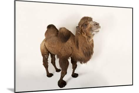 A Critically Endangered Bactrian Camel, Camelus Bactrianus, at the Lincoln Children's Zoo-Joel Sartore-Mounted Photographic Print
