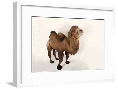 A Critically Endangered Bactrian Camel, Camelus Bactrianus, at the Lincoln Children's Zoo-Joel Sartore-Framed Art Print