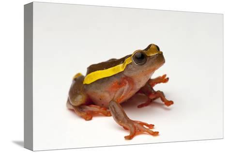An Upper Amazon Tree Frog, Dendropsophus Bifurcus-Joel Sartore-Stretched Canvas Print