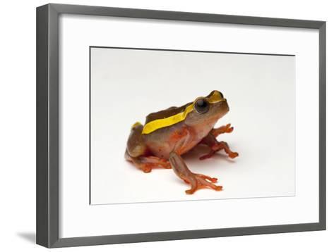 An Upper Amazon Tree Frog, Dendropsophus Bifurcus-Joel Sartore-Framed Art Print