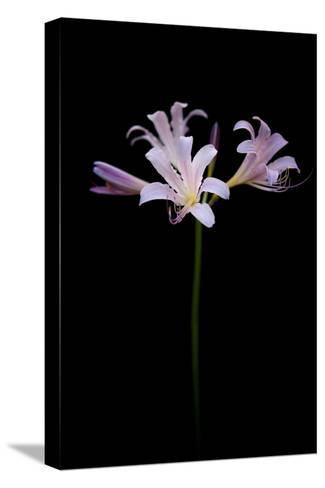 Resurrection Lilies, also known as Naked Ladies, Lycoris Squamigera-Joel Sartore-Stretched Canvas Print