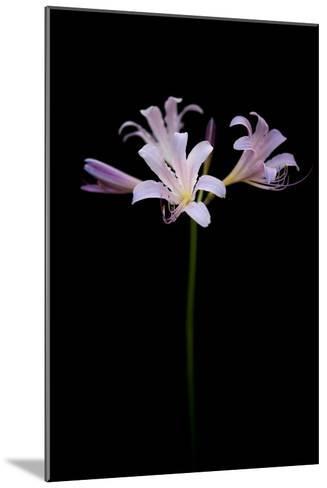 Resurrection Lilies, also known as Naked Ladies, Lycoris Squamigera-Joel Sartore-Mounted Photographic Print