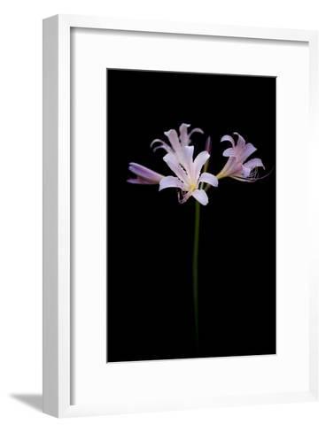 Resurrection Lilies, also known as Naked Ladies, Lycoris Squamigera-Joel Sartore-Framed Art Print