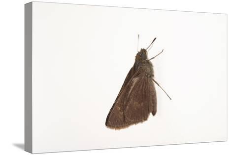 A Dun Skipper, Euphyes Vestris, from a Prairie Woodland Near Cross Lake, Minnesota-Joel Sartore-Stretched Canvas Print