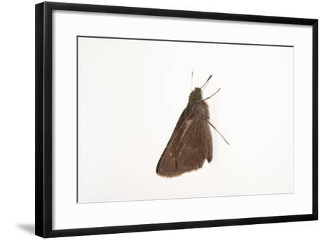 A Dun Skipper, Euphyes Vestris, from a Prairie Woodland Near Cross Lake, Minnesota-Joel Sartore-Framed Art Print