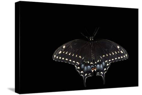 A Black Swallowtail, Papilio Polyxenes, at the Minnesota Zoo-Joel Sartore-Stretched Canvas Print