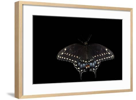 A Black Swallowtail, Papilio Polyxenes, at the Minnesota Zoo-Joel Sartore-Framed Art Print