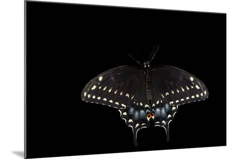 A Black Swallowtail, Papilio Polyxenes, at the Minnesota Zoo-Joel Sartore-Mounted Photographic Print
