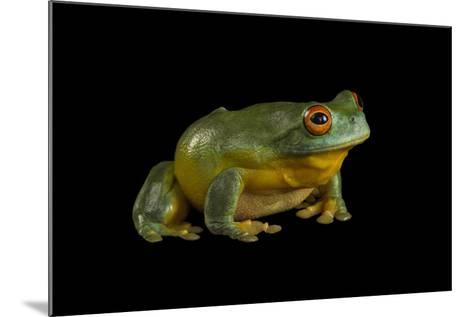 A Southern Orange-Eyed Tree Frog, Litoria Chloris, at the Wild Life Sydney Zoo-Joel Sartore-Mounted Photographic Print
