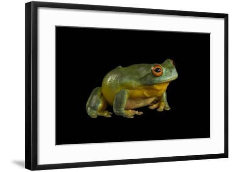A Southern Orange-Eyed Tree Frog, Litoria Chloris, at the Wild Life Sydney Zoo-Joel Sartore-Framed Art Print