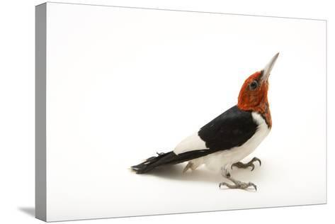 A Male Red-Headed Woodpecker, Melanerpes Erythrocephalus, at St. Francis Wildlife Association-Joel Sartore-Stretched Canvas Print