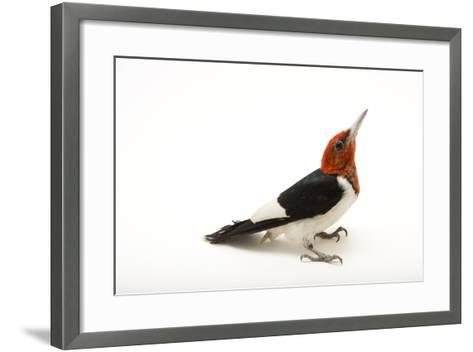 A Male Red-Headed Woodpecker, Melanerpes Erythrocephalus, at St. Francis Wildlife Association-Joel Sartore-Framed Art Print