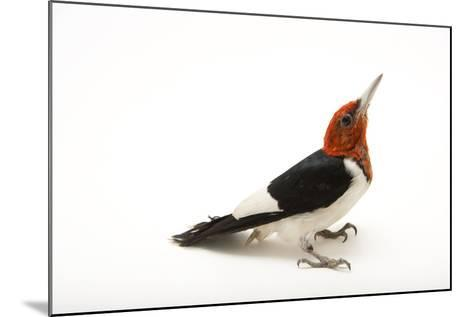A Male Red-Headed Woodpecker, Melanerpes Erythrocephalus, at St. Francis Wildlife Association-Joel Sartore-Mounted Photographic Print