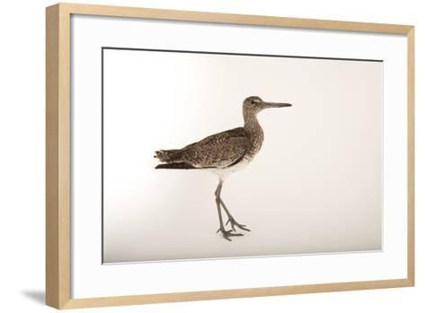 An Eastern Willet, Tringa Semipalmata Semipalmata-Joel Sartore-Framed Art Print