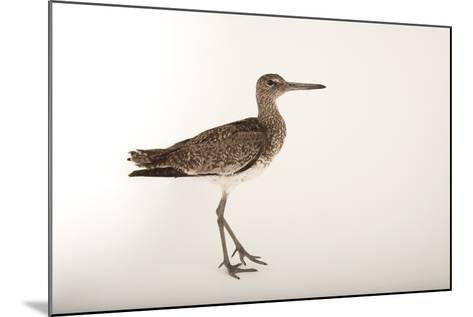 An Eastern Willet, Tringa Semipalmata Semipalmata-Joel Sartore-Mounted Photographic Print