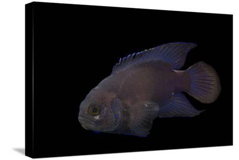 A Southern Blue Devil, Paraplesiops Meleagris, at Omaha's Henry Doorly Zoo and Aquarium-Joel Sartore-Stretched Canvas Print