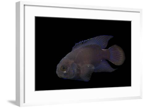 A Southern Blue Devil, Paraplesiops Meleagris, at Omaha's Henry Doorly Zoo and Aquarium-Joel Sartore-Framed Art Print