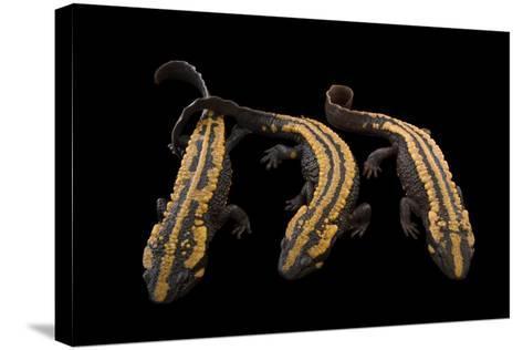 Laos Warty Newts, Paramesotriton Laoensis, at the National Mississippi River Museum and Aquarium-Joel Sartore-Stretched Canvas Print