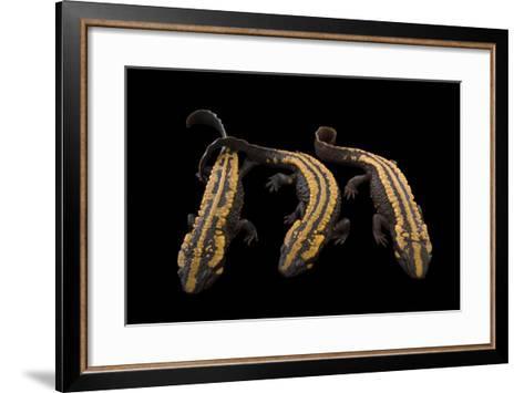 Laos Warty Newts, Paramesotriton Laoensis, at the National Mississippi River Museum and Aquarium-Joel Sartore-Framed Art Print
