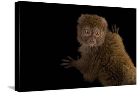 A Gray Bamboo Lemur, Hapalemur Griseus Griseus, at the Duke Lemur Center-Joel Sartore-Stretched Canvas Print