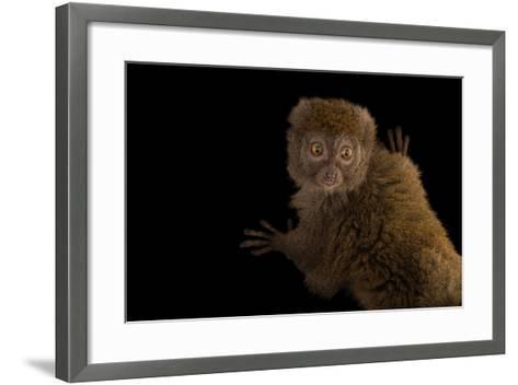 A Gray Bamboo Lemur, Hapalemur Griseus Griseus, at the Duke Lemur Center-Joel Sartore-Framed Art Print