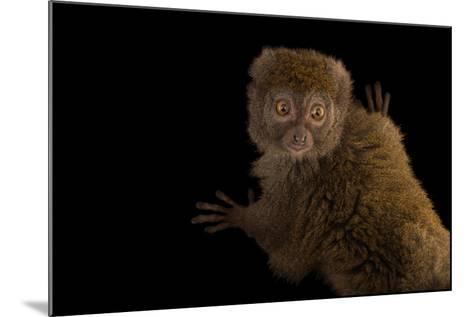 A Gray Bamboo Lemur, Hapalemur Griseus Griseus, at the Duke Lemur Center-Joel Sartore-Mounted Photographic Print