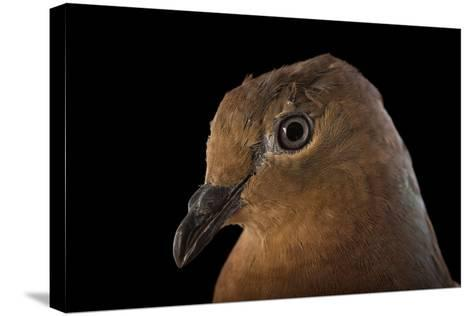 A Brown Cuckoo Dove, Macropygia Amboinensis, at the Wild Life Sydney Zoo-Joel Sartore-Stretched Canvas Print