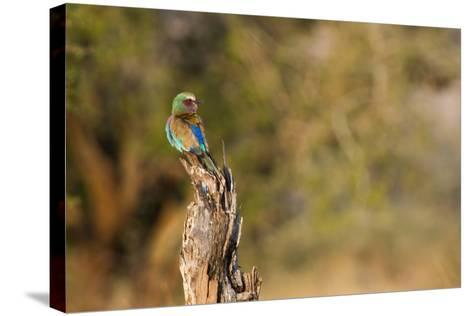 A Lilac Breasted Roller, Coracias Caudatus, Perched on a Stump-Erika Skogg-Stretched Canvas Print