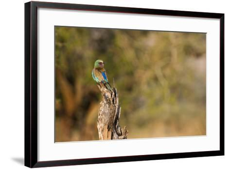 A Lilac Breasted Roller, Coracias Caudatus, Perched on a Stump-Erika Skogg-Framed Art Print