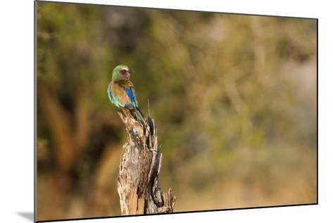 A Lilac Breasted Roller, Coracias Caudatus, Perched on a Stump-Erika Skogg-Mounted Photographic Print