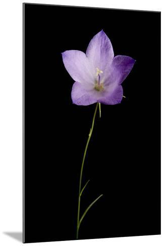 A Harebell Flower, Campanula Rotundifolia-Joel Sartore-Mounted Photographic Print