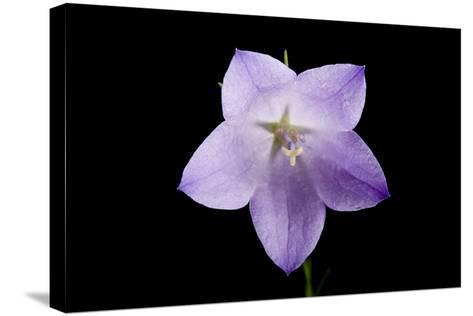 A Harebell Flower, Campanula Rotundifolia-Joel Sartore-Stretched Canvas Print