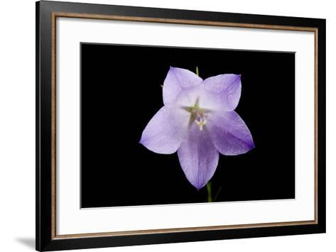 A Harebell Flower, Campanula Rotundifolia-Joel Sartore-Framed Art Print