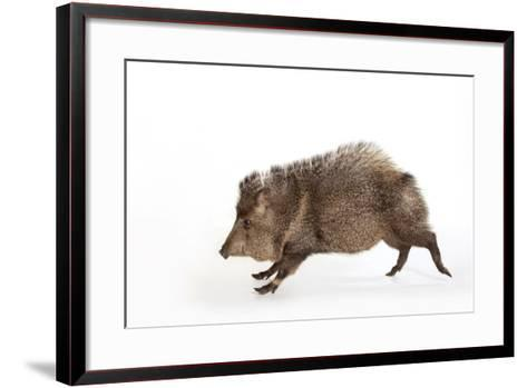 Collared Peccary, Pecari Tajacu, at the Omaha Zoo's Wildlife Safari Park-Joel Sartore-Framed Art Print