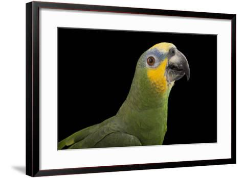 An Orange-Winged Amazon Parrot, Amazona Amazonica, at Omaha's Henry Doorly Zoo and Aquarium-Joel Sartore-Framed Art Print