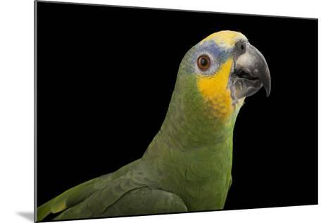 An Orange-Winged Amazon Parrot, Amazona Amazonica, at Omaha's Henry Doorly Zoo and Aquarium-Joel Sartore-Mounted Photographic Print