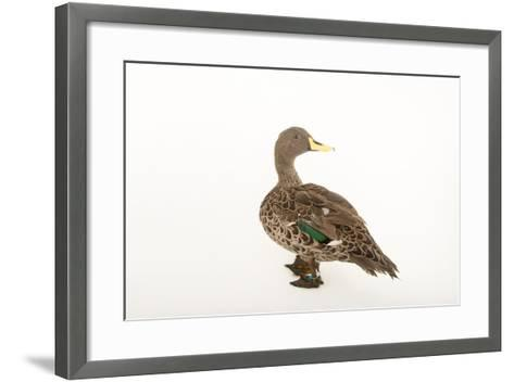 A Yellow-Billed Duck, Anas Undulata Undulata, at the Omaha Henry Doorly Zoo-Joel Sartore-Framed Art Print