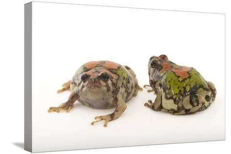 Endangered Malagasy Rainbow Frogs, Scaphiophryne Gottlebei-Joel Sartore-Stretched Canvas Print