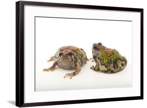 Endangered Malagasy Rainbow Frogs, Scaphiophryne Gottlebei-Joel Sartore-Framed Art Print