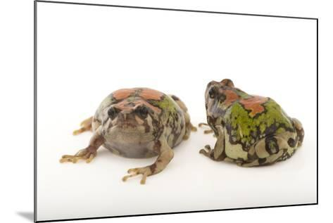 Endangered Malagasy Rainbow Frogs, Scaphiophryne Gottlebei-Joel Sartore-Mounted Photographic Print