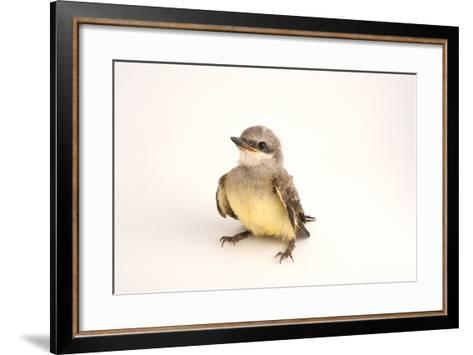 A Western Kingbird Chick, Tyrannus Verticalis, in Lincoln, Nebraska-Joel Sartore-Framed Art Print
