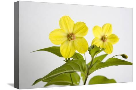 Fringed Loosestrife, Lysimachia Ciliata-Joel Sartore-Stretched Canvas Print