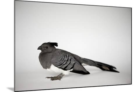 A White-Bellied Go-Away Bird, Corythaixoides Leucogaster-Joel Sartore-Mounted Photographic Print