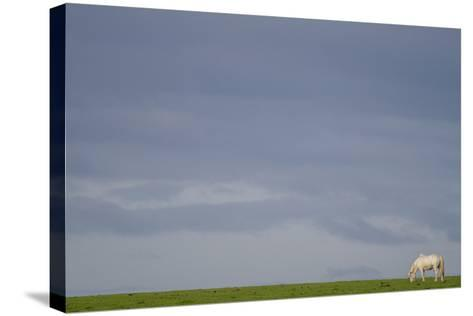 An Icelandic Horse in a Field-Erika Skogg-Stretched Canvas Print