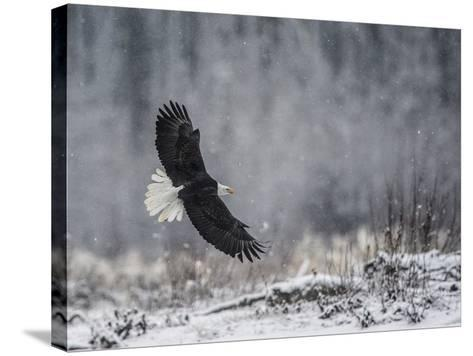 Portrait of a Bald Eagle, Haliaeetus Leucocephalus, in Flight During a Snow Shower-Bob Smith-Stretched Canvas Print