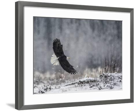 Portrait of a Bald Eagle, Haliaeetus Leucocephalus, in Flight During a Snow Shower-Bob Smith-Framed Art Print