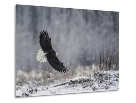 Portrait of a Bald Eagle, Haliaeetus Leucocephalus, in Flight During a Snow Shower-Bob Smith-Metal Print