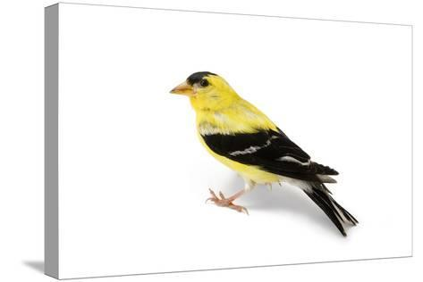 An American Goldfinch, Spinus Tristis-Joel Sartore-Stretched Canvas Print